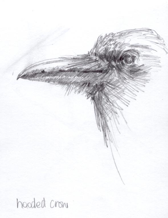 Study of a crow's head