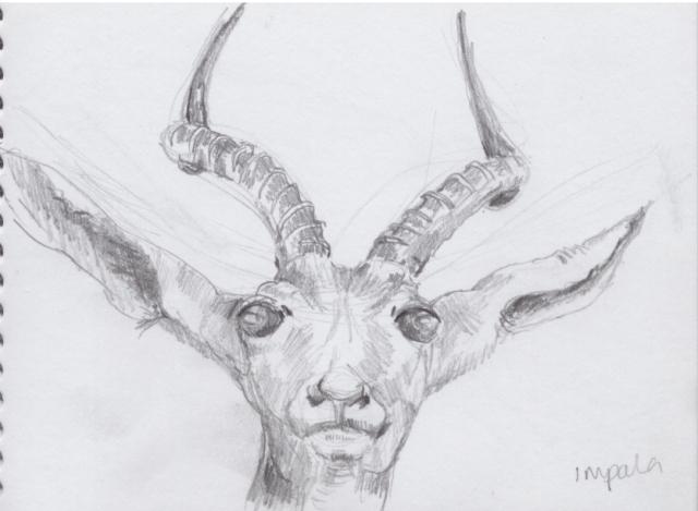 Sketch of impala