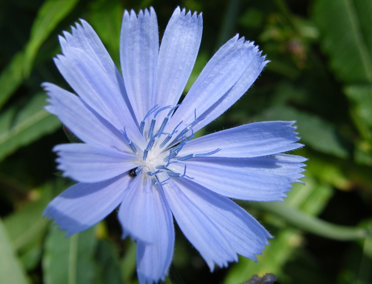 photo of flowering chicory